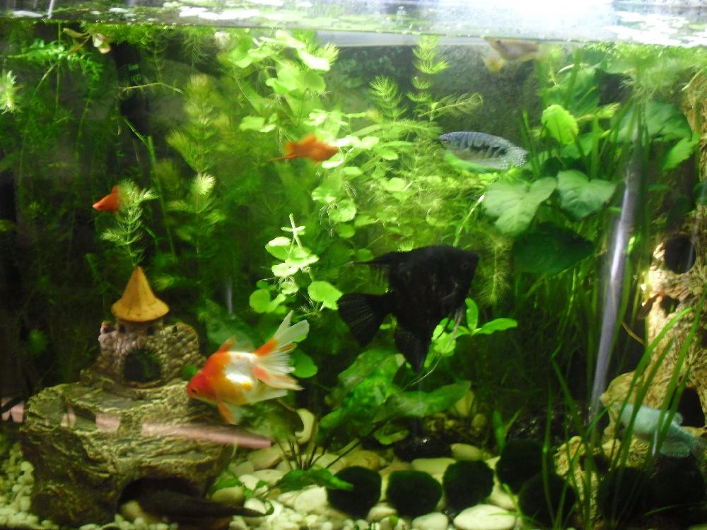 Золотые рыбки и гуппи в одном аквариуме